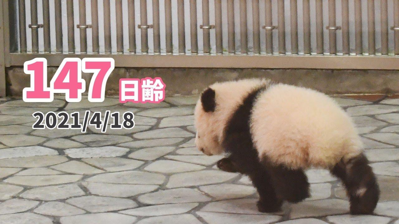 【パンダの赤ちゃん(楓浜)】飼育スタッフに大興奮!!のあとは…Zzz(147日齢)