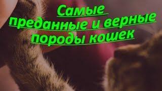 САМЫЕ ПРЕДАННЫЕ И ВЕРНЫЕ ПОРОДЫ КОШЕК  THE MOST DEVOTED AND LOYAL BREEDS OF CATS