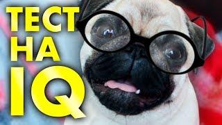 ТЕСТ собаки на Айкью | МОПС глупая Собака Или ГЕНИЙ?