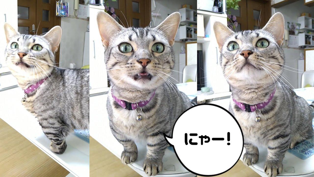 時々声をあげるジェネッタ猫ルナ Genetta cat  meowing often.