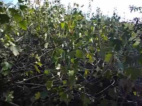 Листья черной смородины польза и вред когда собирать противовирусное противовоспалительное средство