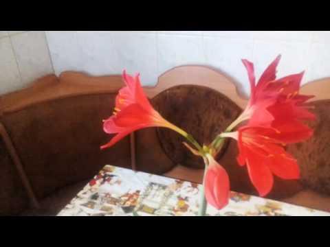 Комнатное растение Валлота