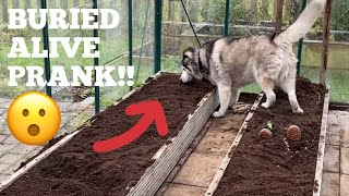 BURIED ALIVE PRANK ON MY HUSKIES! [FEMALE v MALE v PUPPY!]