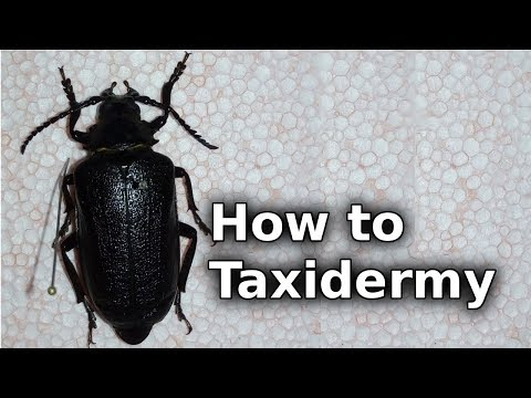 How to Taxidermy a Beetle   theTax
