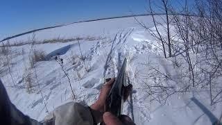 охота на зайца русака с русской пегой