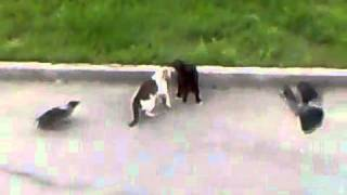 Epic Cat Fight (cat's horror)