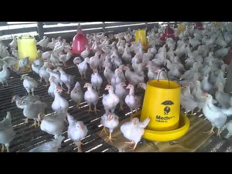 Lebih Enak Dari Ayam Potong AYAM PEJANTAN Umur 1 Bulan