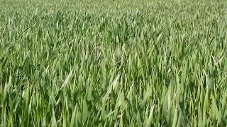 Зелёная трава / green grass(Зелёная трава на лугу в солнечный апрельский день. А вообще то это побеги пшеницы на поле. ..., 2015-04-30T11:35:49.000Z)