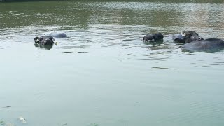 Pan shot of a group of water buffaloes bathing in a freshwater pond in India
