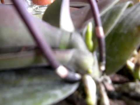 Orchid Care Reblooming Phalaenopisis Do We Really Need To Cut