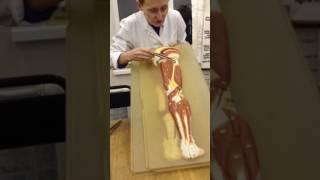 видео Анатомия мышц ног