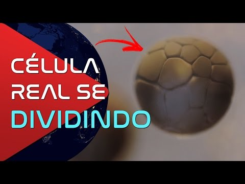 Veja uma Célula REAL se Dividindo em Time-Lapse - Se Sinta um Cosmonauta   5 Vídeos Sobre Ciência