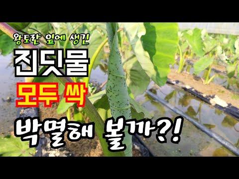 왕토란 잎에 생긴 진딧물 한방에 모두싹 박멸하는 방법!