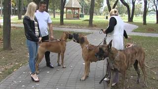 Немецкие доги Белоруссии