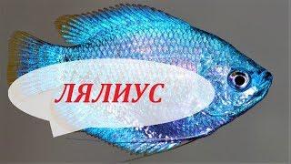 Лялиус в аквариуме. Содержание, размножение, чем кормить и совместимость Colisa lalia.