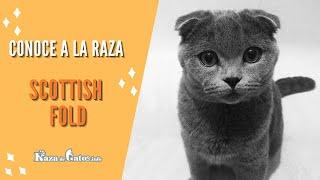 Scottish Fold  El gato con carita de un pequeño gatito bebé.
