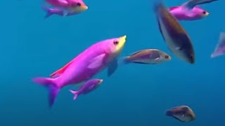 Coral reef fish danger - Blue Planet - BBC Environment