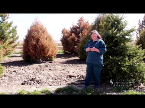 Why Are My Evergreens Brown? | From The Ground Up