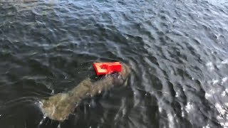 Rescuers Spend Hours Freeing Manatee Stuck In Small Life Vest