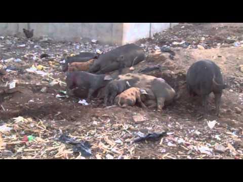 Creole pigs