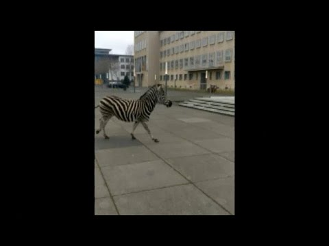 No Comment TV: Zebra races through German city after escaping from circus
