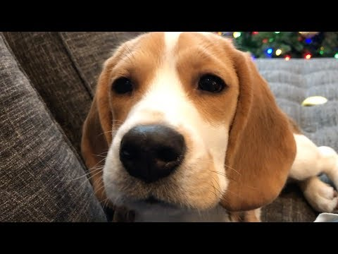 Seven cutest sounds a beagle makes