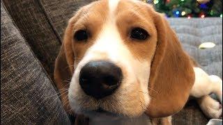 Seven cutest sounds a beagle makes