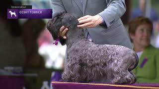 Cesky Terriers | Breed Judging 2021