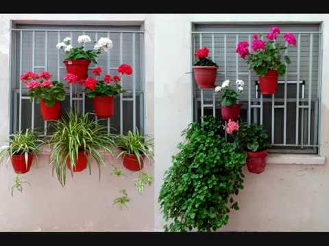 Geranios planta del dinero plantas de cinta que adornan - Cinta planta ...