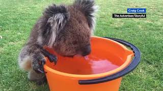 Thirsty koala accepts water from humans during scorching heat wave