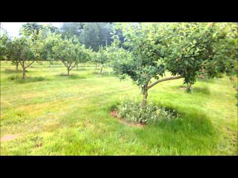 Orchard ramble, July 2013-apple seedlings, pests and diseases, graft update