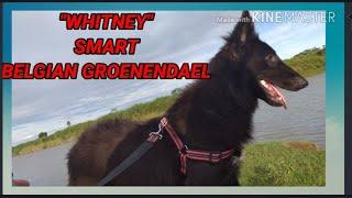 BELGIAN SHEPHERED DOG BREED . MY SMART BELGIAN GROENENDAEL @ 8 MONTHS