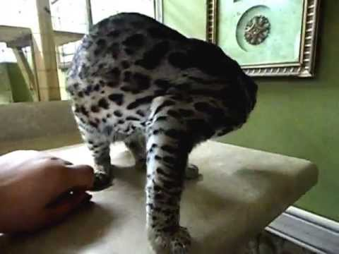 Asian Leopard Cat, Lews Therin at 1 year old
