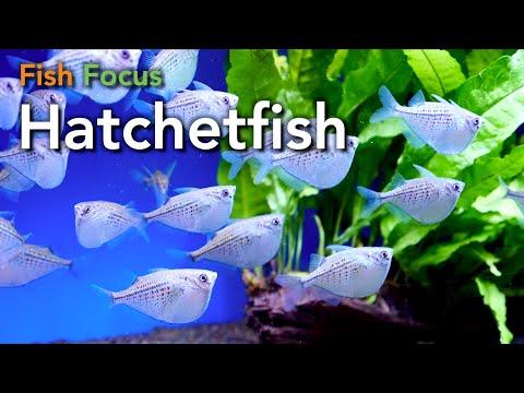 Fish Focus - Hatchetfish