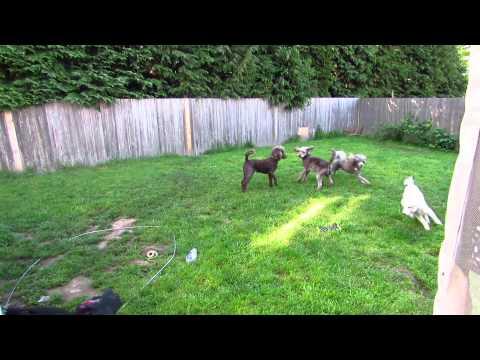 6 wk Multigen Labradoodle Puppies 2015 - Dreamydoodles.com
