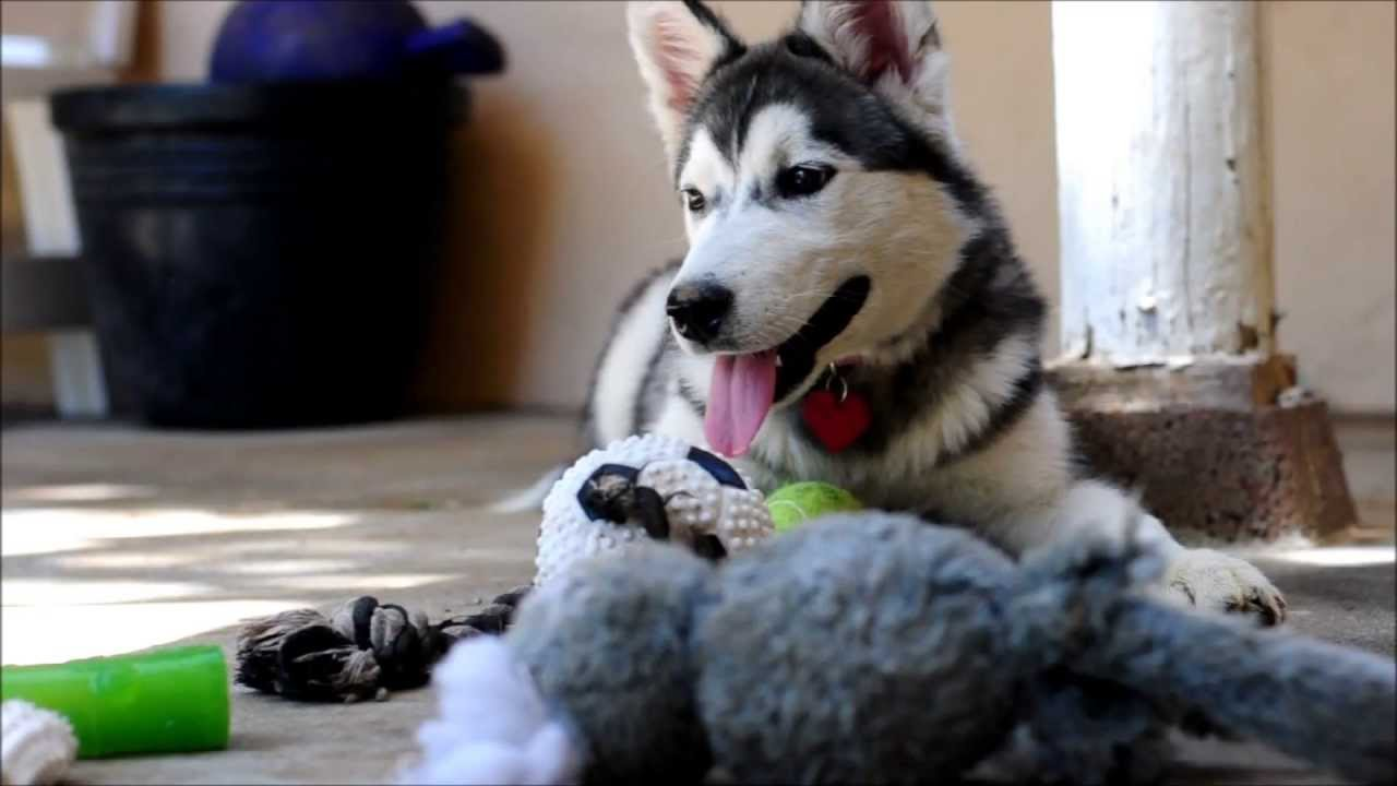 Lillie - Husky/Malamute Mix Puppy Board and Training - YouTube