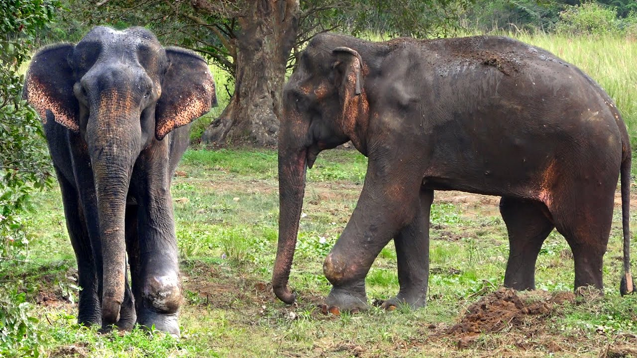 A rare giant elephant was found wandering with an injured leg