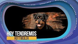 HeralDog | Rottweiler | Benito Polanco y Alan Rosales | #PerrosPremier