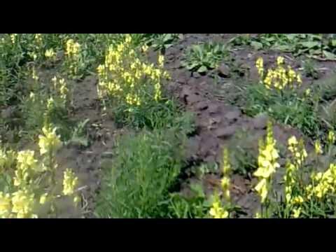 Льнянка обыкновенная, или Огонёк-трава. Описание, сорняк