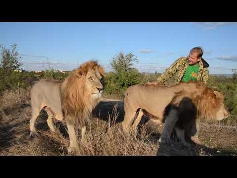 Долгожданная встреча с любимыми львами Чуком и Геком  после разлуки !