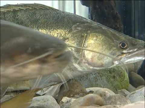 LFV, Fische Und Fischerei, Teil 5, Waller, Neunaugen, Krebse, Kleinfische U. Sumpfschildkröte
