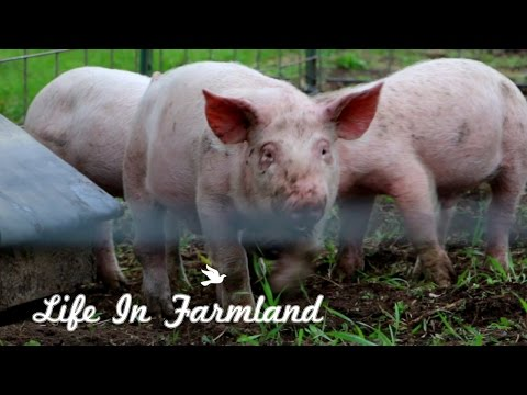 Things To Think About Before Raising Pigs