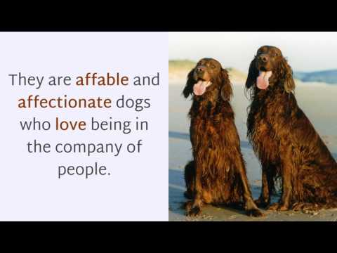16 Interesting Facts You Should Know About Irish Setter
