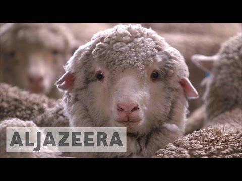 Sheep farming making a comeback in Australia