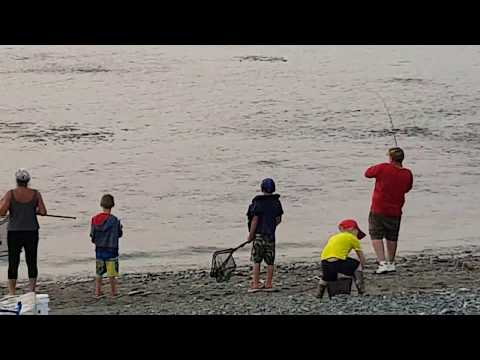 Cod jumping after the Capelin in Holyrood Newfoundland 13 Aug 2018
