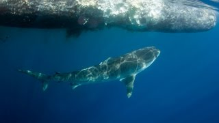 Sperm whale and shark encounter at Coffs Harbour July 2015 - watch in HD!