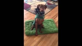 Vizsla puppy training