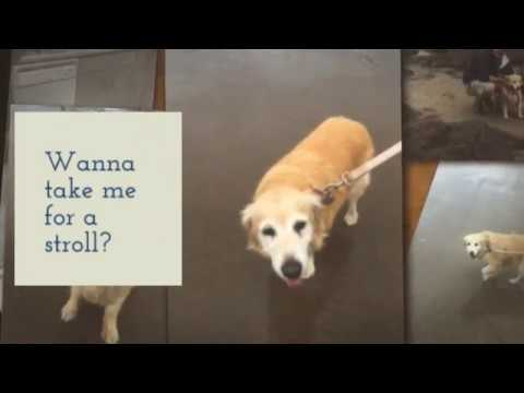 Golden Retriever Cocker Spaniel Mix Dog For Adoption in Portland OR