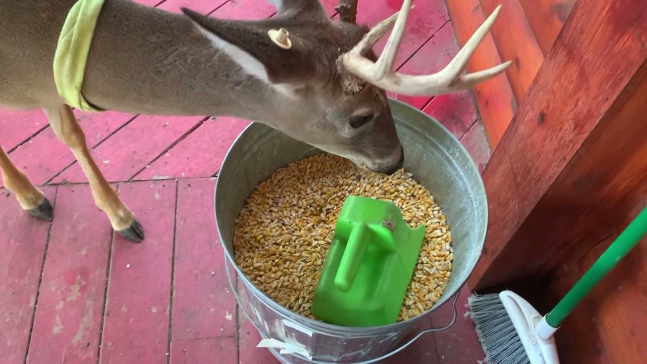 Download Deer of Twin Eagle,  Lucy's Herd. October 15th