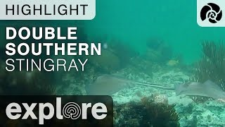 Double Southern Stingray  - Cayman Reef Live Cam Highlight thumbnail